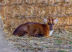 Muntjac In A Haystack (Smile on Saturday - Shades Of Brown) (CJD imagery) Tags: animal canonef70200mmf28lisiiiusm canoneos80d winter outdoors naturephotography nature wildlife male muntjac shadesofbrown smileonsaturday essex elsenham england gb greatbritain uk unitedkingdom