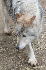 G08A5326.jpg (Mark Dumont) Tags: mexican wolf zoo mark dumont mammal cincinnati