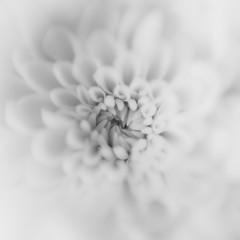 Chhrysanthemum (stoneleighboy) Tags: flowers nature colour soft macro delicate petals