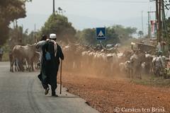 Mid-day walk (10b travelling / Carsten ten Brink) Tags: 10btravelling 2017 africa african afrika afrique atimpoku carstentenbrink ghana ghanaian goldcoast ho hohoe iptcbasic places volta voltaregion westafrica cattle herd region tenbrink walking
