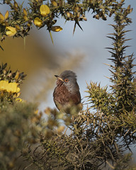 You've Been Framed (Chris Bainbridge1) Tags: sylviaundata male dartford warbler gorse heath heathland suffolk