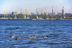 Качки на Дніпрі (ucrainis) Tags: animal bird duck ducks birds port river riverbank zaporizhzhia ukraine autumn evening city cityscape urban nature dnieper plants water crane industrial eastern europe industry pier
