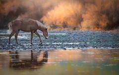 Wild Horses (Jami Bollschweiler Photography) Tags: utah wildlife photographer horses horse wild free arizona river