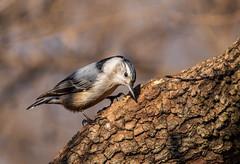 White Breasted Nuthatch (Lynn Tweedie) Tags: wood beak tail wing canon ngc animal whitebreastednuthatch 7dmarkii missouri bird tree eos eye feathers sigma150600mmf563dgoshsm branch