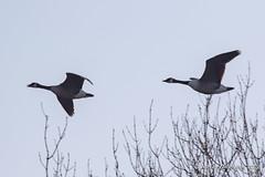 Canada Geese (Ashley Middleton Photography) Tags: coatewatercountrypark swindon animal bird canadagoose england europe goosegeese unitedkingdom wiltshire