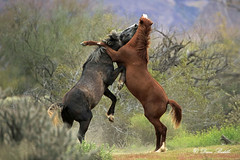 Arizona Wild Horses (littlebiddle) Tags: horse mustang wildlife nature animal mammal arizona saltriver