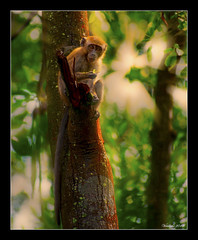 Breakfast in the forest (VERODAR) Tags: monkey ape primate jungle forest mangroveforest sunlight nature natureandwildlife mothernature park nationalpark tanjungpiai nikon verodar veronicasridar