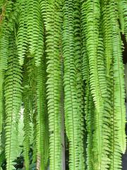 Helechos Verde (gerrygoal2008) Tags: leaves green verde vert feuilles feuillage fougeres ferns helechos texture