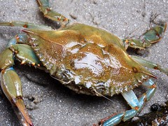 133 (Andy Poz) Tags: animal arthropode crustaceous crab beach beautiful sand