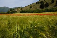 springtime (eudibi) Tags: spring poppies vallodidiano salaconsilina mirrorless sonyalpha provinciadisalerno campania italy spighe grano