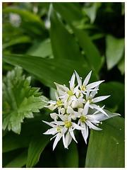 wild garlic (Gi8SKN) Tags: wildgarlic garlic flower green white leaf gi8skn cameraphone samsung galaxy s7 carrickfergus antrim ireland