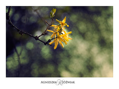 Forsycja (smoothna) Tags: forsythia forsycja d90 smoothna nature flowers blooming spring yellow green