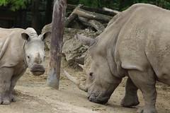 IMG_1380 (Medium) (gilsch) Tags: france zooparcdebeauval zoo animal beauval rhinoceros rhino