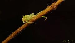 Diaea dorsata - A Crab Spider (Araneae) (Who needs a name?) Tags: diaeadorsata acrabspider araneae jj kent nature greenspider comfortswood greenonblack darkestkent crabspider thomisidae