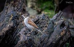 Reed bunting - Male (vickyouten) Tags: reedbunting nature wildlife wildlifephotography britishwildlife nikon nikond7200 nikonphotography nikkor55300mm penningtonflash leigh uk vickyouten