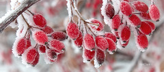 Sugar sugar (N.Clark) Tags: frost berries redberries frostedberries sugar sugarsugar winter heavyfrost englishgarden