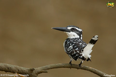 Pied Kingfisher!!(_EJ1C0180) (Anupam Dash Photography) Tags: anupam anupamdashphotography anupamdash avian adult aplusphoto beauty bird birdwatching birds birding birdsofindia canon camera colors canon500mmf4 color clouds canon1dmarkiv colourartaward nature naturesfinest naturephotography north wildlife wild wildlifephotographer water workshop indian india is indianbirds piedkingfisher birdsofodisha