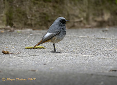 Black Redstart 10 (Roger Dickens) Tags: blackredstart phoenicurusochruros urbanbird southbirmingham pentaxda150400 pentaxk3