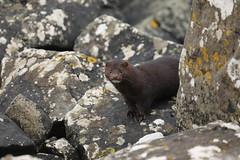 mink (simonrowlands) Tags: ink scotland coasts rivers streams lakes