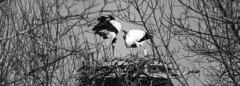 Saint Valentin. (JessieTlse) Tags: stork cigogne black white noir et blanc couple valentines day saint valentain birds nature marais orx landes fujifilm xt20 amateur oiseaux cigognes