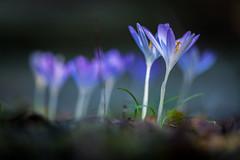 crocus (mkniebes) Tags: winter february crocus flower garden bokeh nature outdoor flora lila color makro makroplanar2100 zf2 zeiss abstract carlzeiss