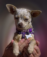 Handheld Cutie (Scott 97006) Tags: dog canine animal petite hands held bokeh cute chihuahua