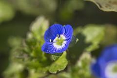 Persische Ehrenpreis (Veronica persica) (olds.wolfram) Tags: persische ehrenpreis veronica persica blüten blumen pflanze grün blau blume blüte