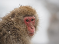"In the Pink (Say ""Wasabi"") Tags: monkey macaque ape primate m43 olympus japan snowmonkeys yudanaka snow monkeys jigokudani macaques wildlife nature onsen bathing animal animals bath"