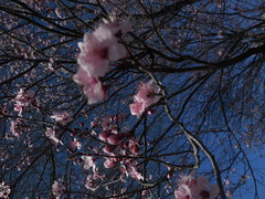 DSCN8321 (tombrewster6154) Tags: pretty tree branches pink flower petals westover church greensboro nc parking lot blue sky early march late winter sign spring beautiful