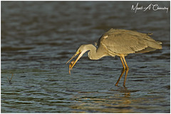 The Hungry Heron! (MAC's Wild Pixels) Tags: thehungryheron greyheron ardeacinerea heron bird birder birdlife birdwatcher birdperfect birdsofeastafrica birdlifephotography avian plumage feathers ornithology beautifulbird colourfulbird animal wildlife africanwildlife wildafrica wildanimal wildbird wildlifephotography safari gamedrive sunset goldenhour goldenlight nature naturephotography outdoors outofafrica athibasindam nairobinationalpark nnp nairobi kenya macswildpixels coth alittlebeauty natureinfocusgroup coth5 ngc npc