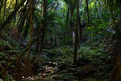 Fernglen Elatostema (fate atc) Tags: auckland billandmurielfisher birkenhead elatostema fernglen nznativeplants newzealand northshore bush ferns offkaurird plants trees