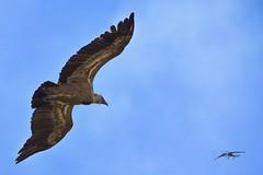 grifone Sardo (Tonpiga) Tags: tonpiga uccelliinlibertà faunaselvatica gypsfulvus avvoltoio grifonesardo grifone fotoinnatura