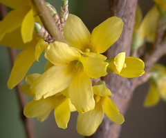 Forsythia (mahar15) Tags: blooms macro flowers nature flower forsythia yellow petals spring floweringshrub yellowflower