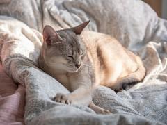 20190226_21_LR (enno7898) Tags: panasonic lumix lumixg9 dcg9 xvario 35100mm f28 cat abyssinian pet