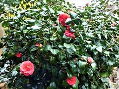 P1080589 (KENS PHOTOS2010) Tags: flowers gardens gardening