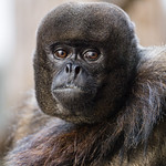 Portrait of a woolly monkey II thumbnail