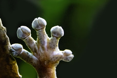 Flora? Fauna? (bhermann.hamburg) Tags: gecko fuss foot makro macro