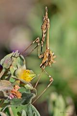 Empusa pennata (ajmtster) Tags: macrofotografía macro insecto invertebrados mantidos empusa pennata ninfa hembra empusapennata bugs amt