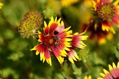 Firewheel (Gaillardia pulchella) (zug55) Tags: firewheel gaillardiapulchella austin bartoncreekgreenbelt texas bartoncreek greenbelt centraltexas texashillcountry hillcountry bee honeybee indianblanket asteraceae asterfamily aster gapu