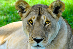 Lioness (_Alem_) Tags: lioness eyes africa kenya nairobi animals nature