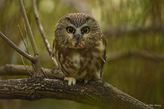 Northern Saw-Whet Owl (aj4095) Tags: owl saw whet ontario canada nature wildlife outdoor branch tree