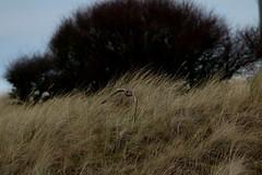 IMG_4606 (monika.carrie) Tags: monikacarrie wildlife scotland forvie shortearedowl seo