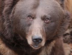 brownbear Ouwehands 094A0689 (j.a.kok) Tags: animal mammal zoogdier dier predator ouwehands bear beer bruinebeer brownbear igor