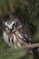 Northern Saw Whet Owl (bigolemrkanish) Tags: northernsawwhetowl northern saw whet owl owls birdsofprey bird birds long island longisland longislandwildlife new york newyork wildlife wildlifephotography