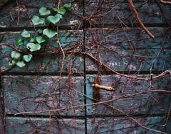 Punge il rovaio di un dubbio eterno, un formicaio di cose andate, di chi aspetta sempre l'inverno per desiderare una nuova estate. (F. Giccini) (ornella sartore) Tags: porta edera serratura colori allaperto dettagli