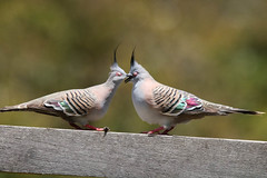 It worked! (aussiegypsy_travelling) Tags: crested pigeon two pair couple bird birdlife wild wildlife court courting courtship display ocyphapslophotes common australia australian aussie aussiegypsy lorraineharris nature outdoors rail wooden railing timber aves columbidae stocky crest black park parkland adelaidehills south mainland topknot grassland gumeracha rural urban bliss closedeyes rapture snuggling cuddling sideview happy beaks
