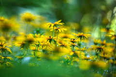 down dirty with the daisies (cheezepleaze) Tags: daisy green yellow flowers nature bokeh dreamy