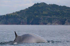 The Fin Whale (peterkelly) Tags: digital canon 6d northamerica canada newfoundlandlabrador trinitybay water shore coast coastline shoreline whale finwhale