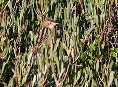 Zitting Cisticola (Wild Chroma) Tags: cisticola juncidis cisticolajuncidis birds passerines ludo faro riaformosa portugal