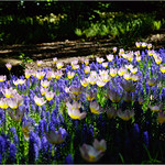 Tulips in Blue thumbnail
